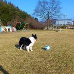 ボーダーコリーのボール遊び