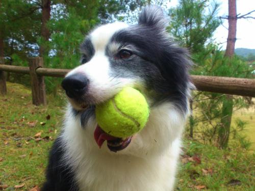 テニスボールくわえる2